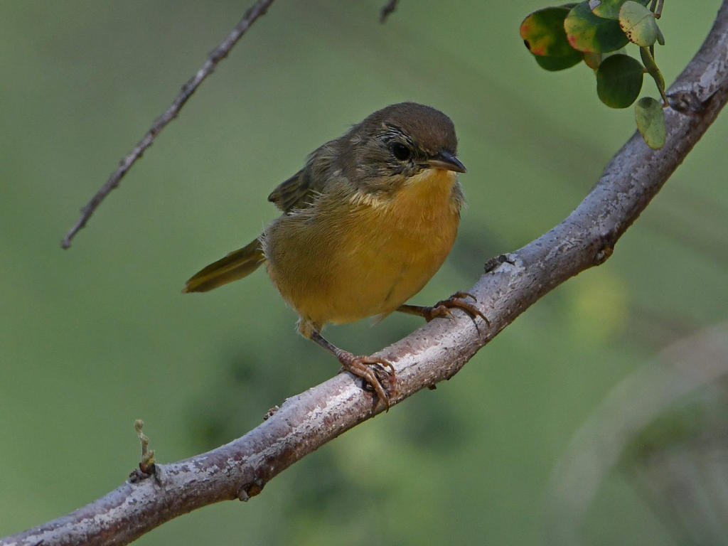 Can you help ID this bird please?-unknown3.jpg