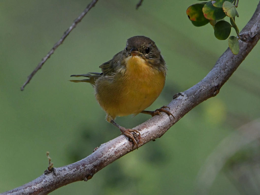 Can you help ID this bird please?-unknown2.jpg
