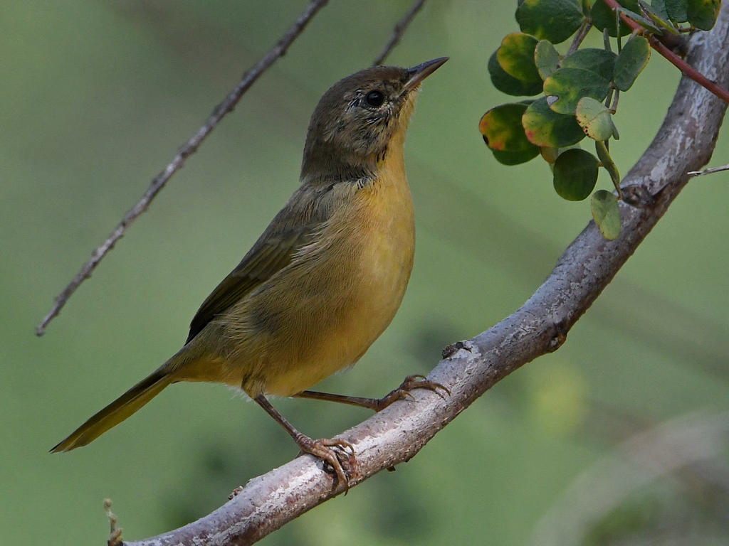 Can you help ID this bird please?-unknown6.jpg