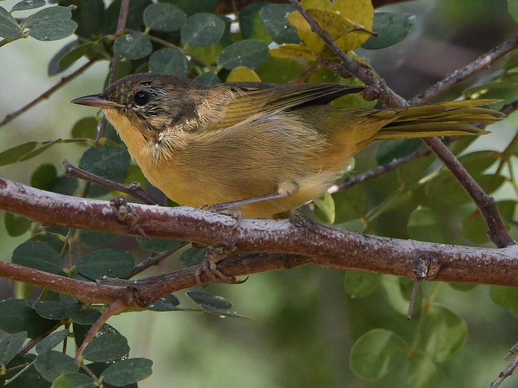 Can you help ID this bird please?-unknown8.jpg