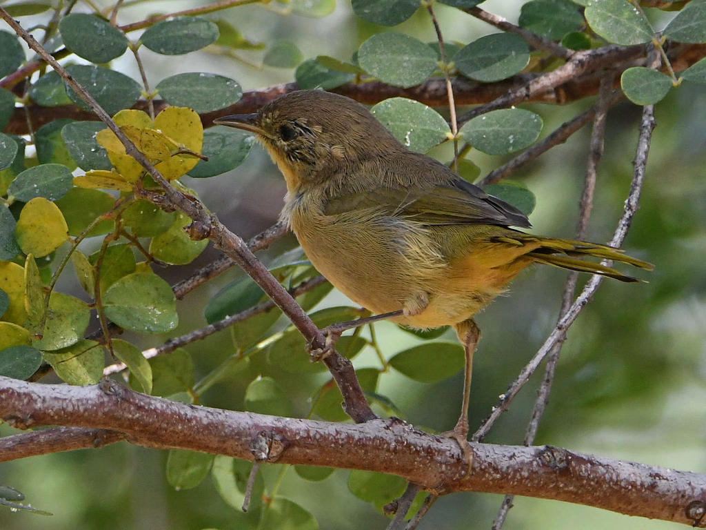 Can you help ID this bird please?-unknown9.jpg
