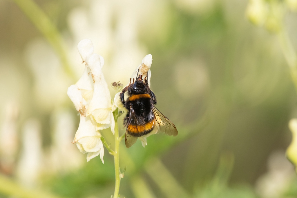 Post your dragonflies and bees/wasps-friday18.jpg