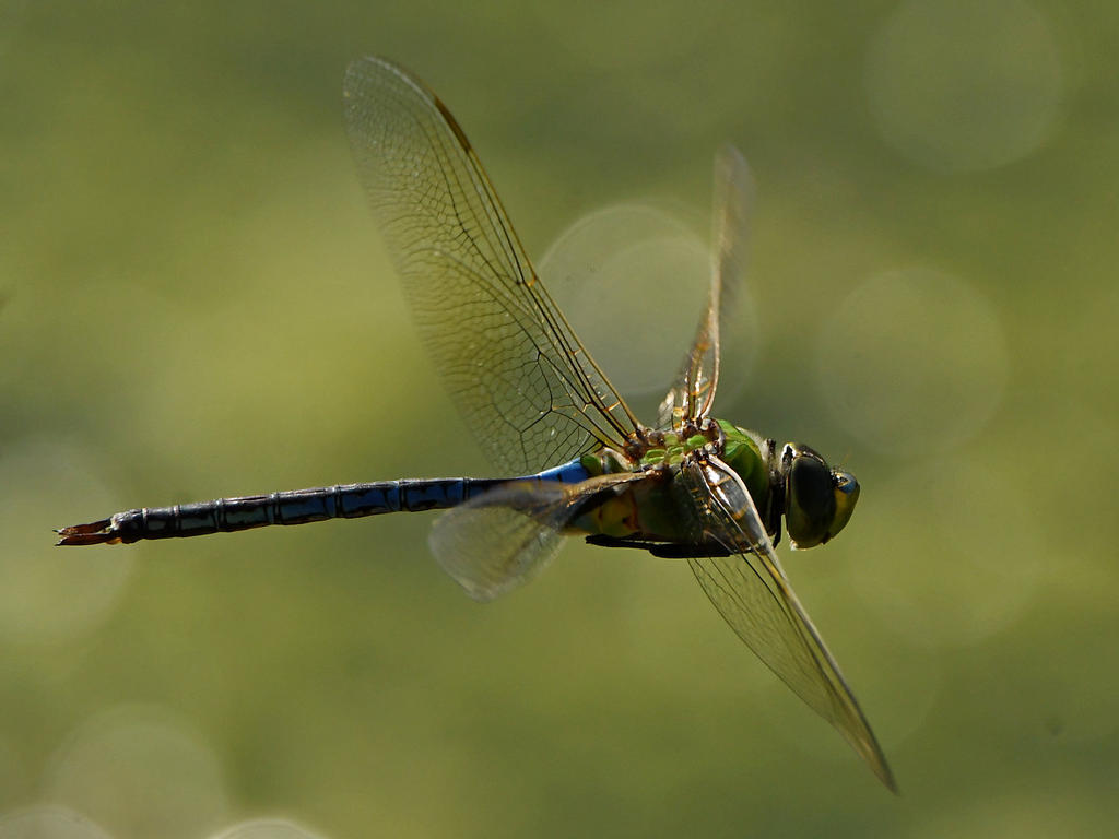 Post your dragonflies and bees/wasps-dragonfly2.jpg