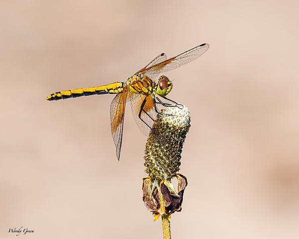 Post your dragonflies and bees/wasps-df-982.jpg