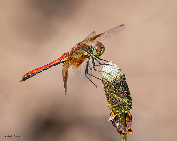 Post your dragonflies and bees/wasps-df-983.jpg