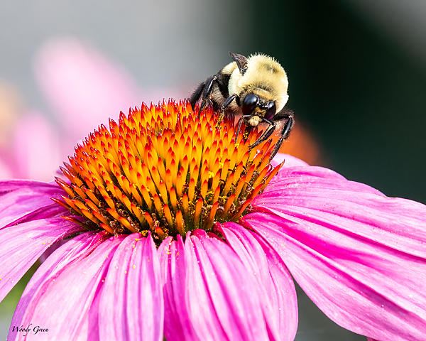 Post your dragonflies and bees/wasps-bumblebee-985.jpg