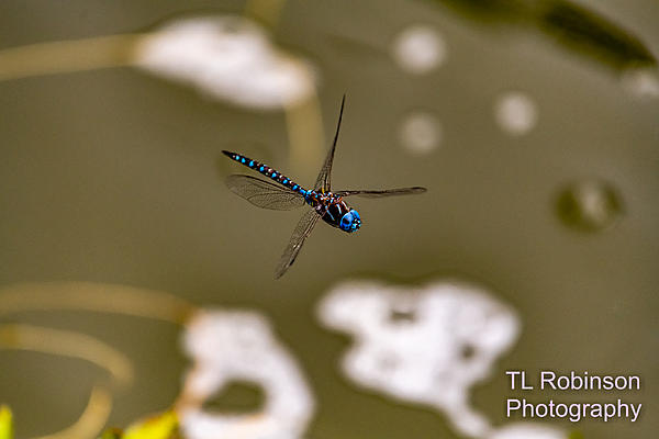 Post your dragonflies and bees/wasps-850_2102.jpg