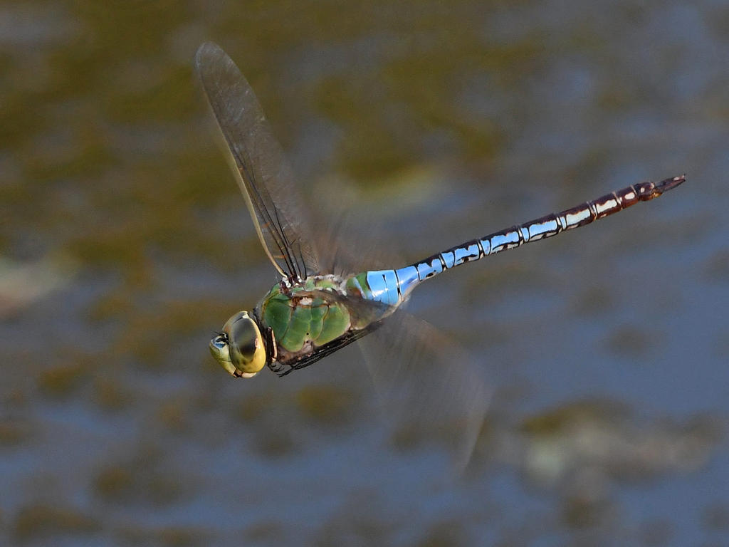 Post your dragonflies and bees/wasps-dragonfly3.jpg