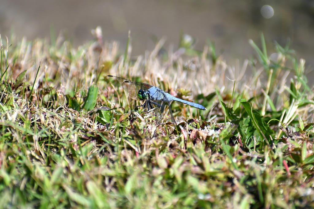 Post your dragonflies and bees/wasps-750_0204_co_cr.jpg