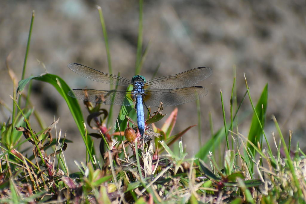 Post your dragonflies and bees/wasps-750_0230_l_cr.jpg