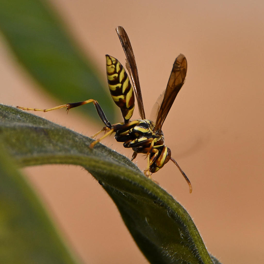 Post your dragonflies and bees/wasps-wasp5.jpg
