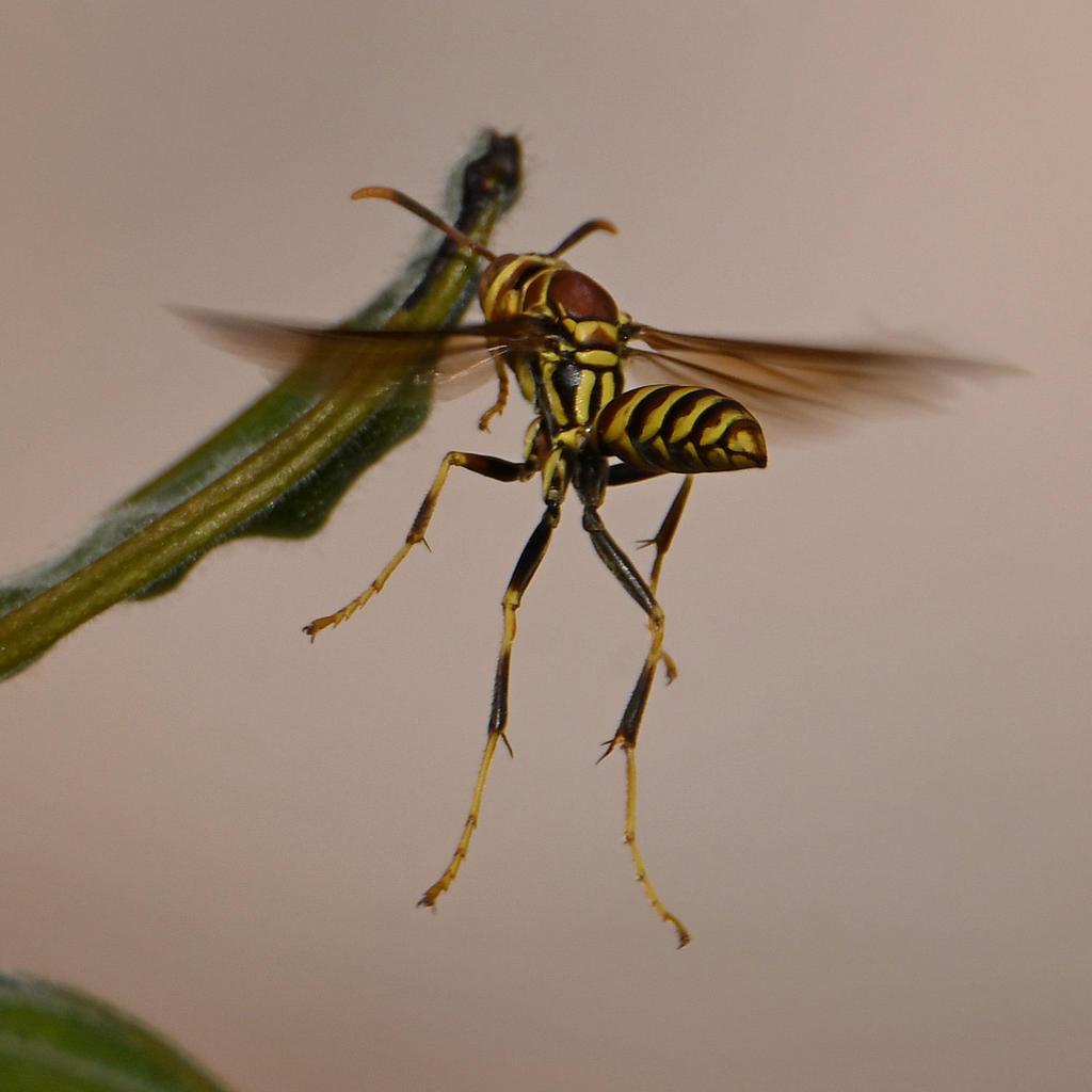 Post your dragonflies and bees/wasps-wasp4.jpg
