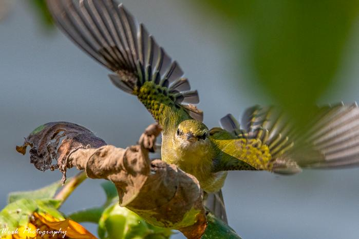 Post your Birds in Flight-20210910-female-common-yellow-throated-warbler-rd5_4291.jpg