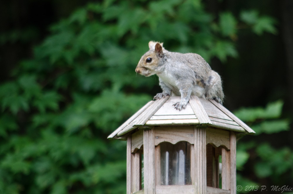Post your Squirrel pictures-dsc_8600.jpg