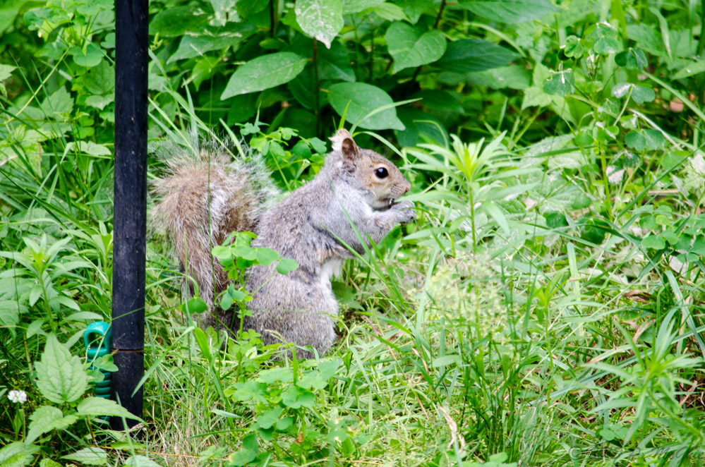 Post your Squirrel pictures-dsc_8602.jpg
