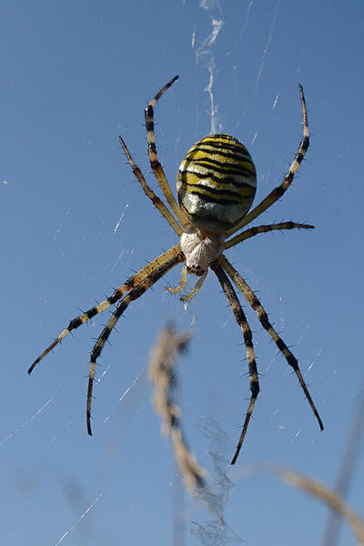 Post your spiders-wasp-spider-5.jpg