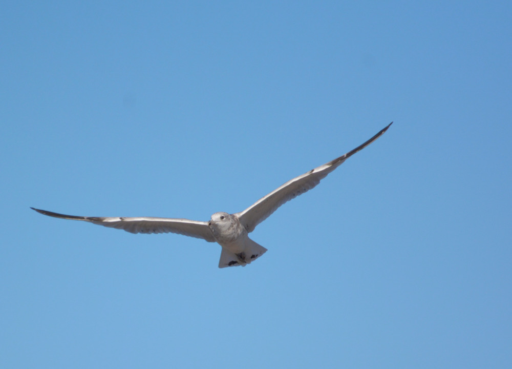 Post your Birds in Flight-dsc_1797.jpg