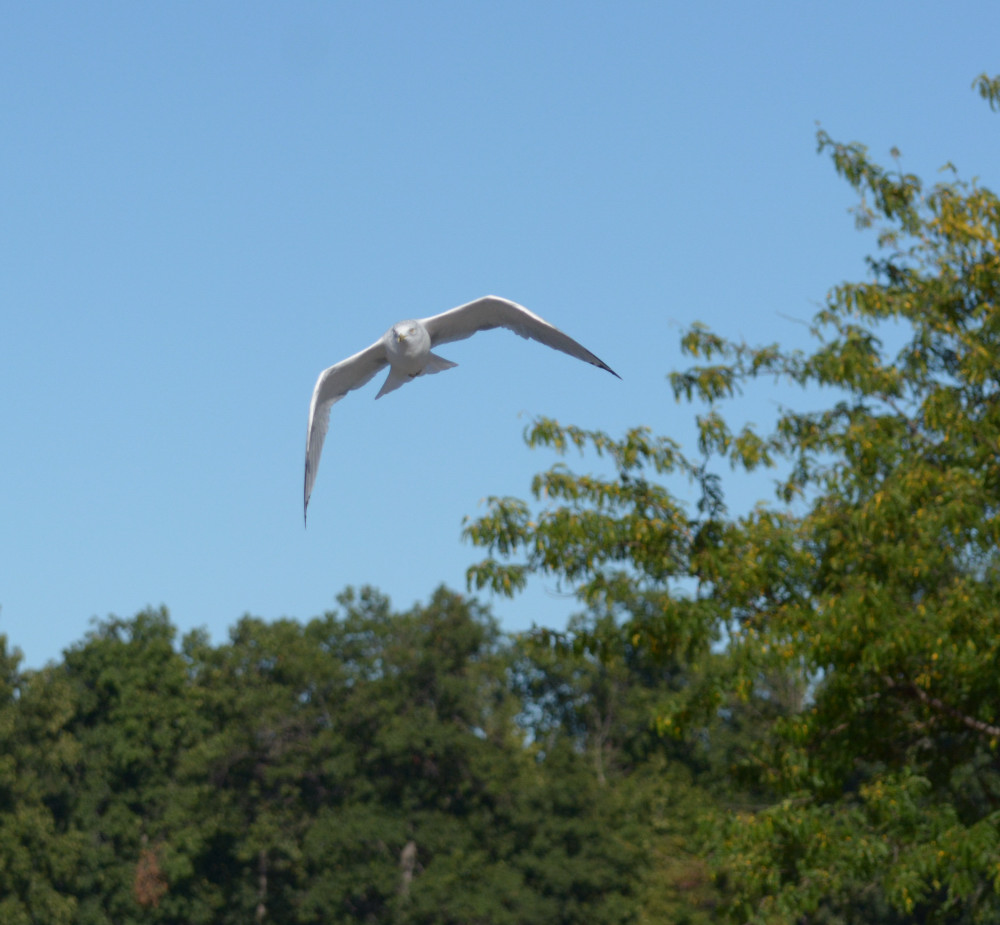 Post your Birds in Flight-dsc_1794.jpg