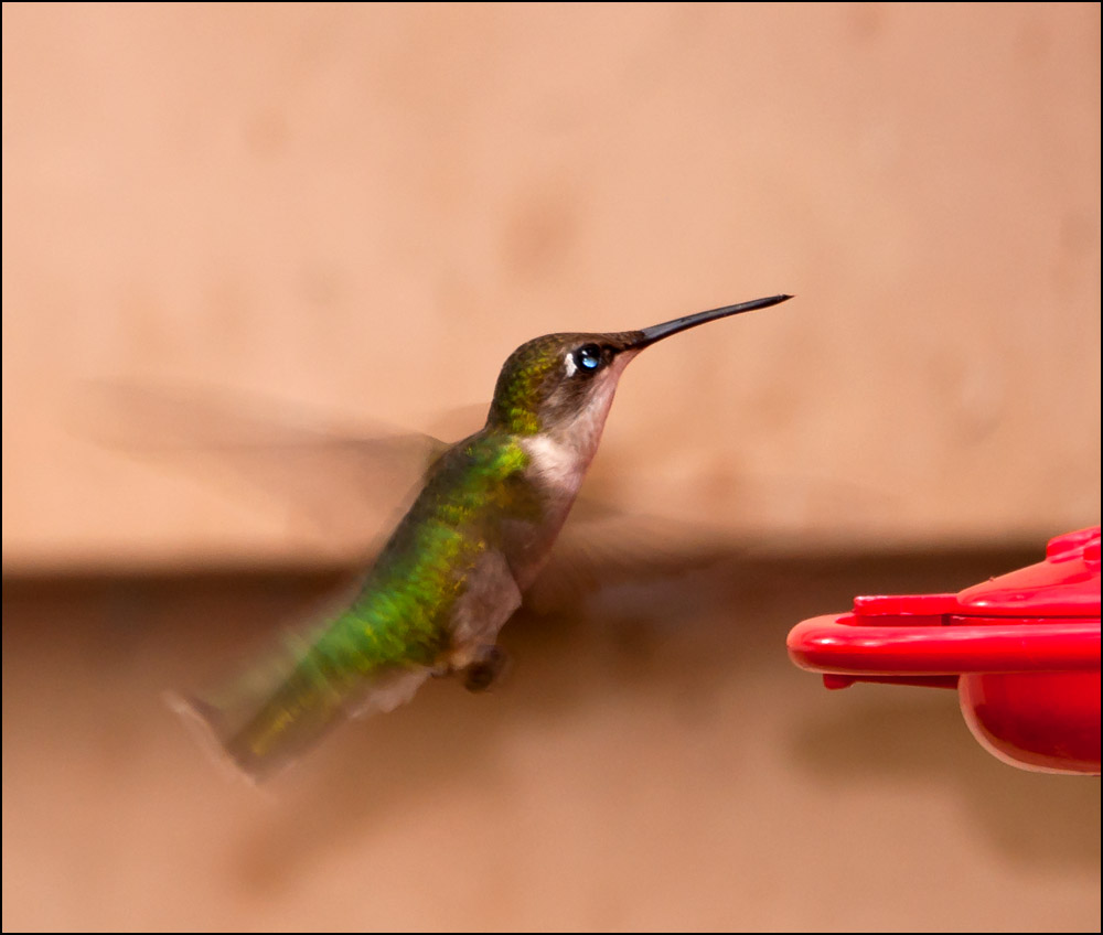Post your Hummingbird Photos-dsc_6104.jpg