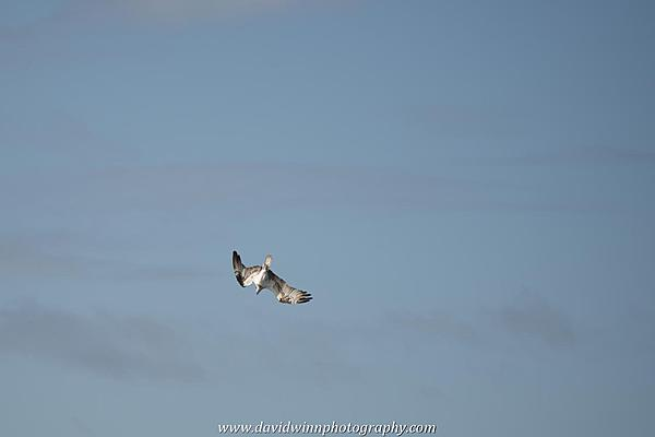 Post your Birds in Flight-d8a_0577.jpg