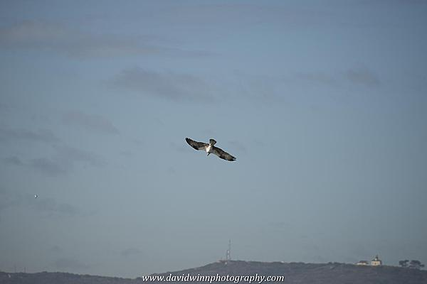 Post your Birds in Flight-d8a_0578.jpg