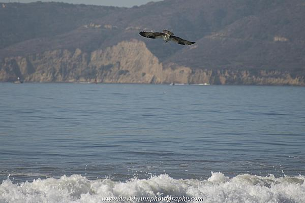 Post your Birds in Flight-d8a_0579.jpg