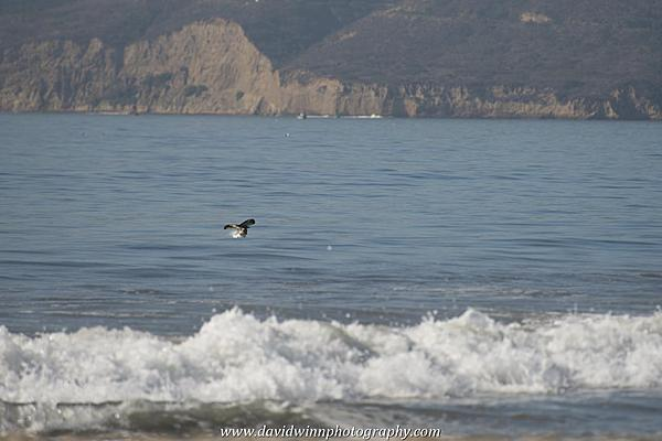 Post your Birds in Flight-d8a_0580.jpg
