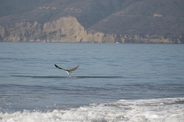 Post your Birds in Flight-d8a_0583.jpg