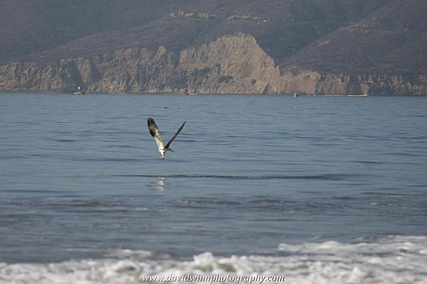 Post your Birds in Flight-d8a_0584.jpg