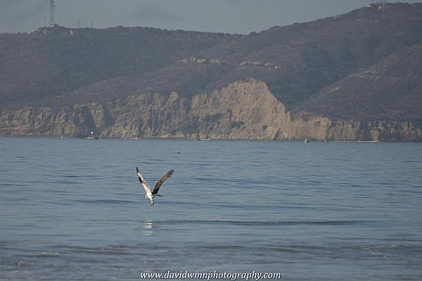 Post your Birds in Flight-d8a_0585.jpg