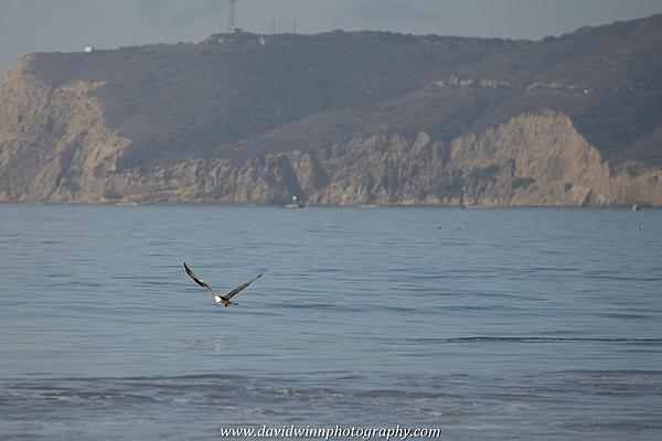 Post your Birds in Flight-d8a_0587.jpg