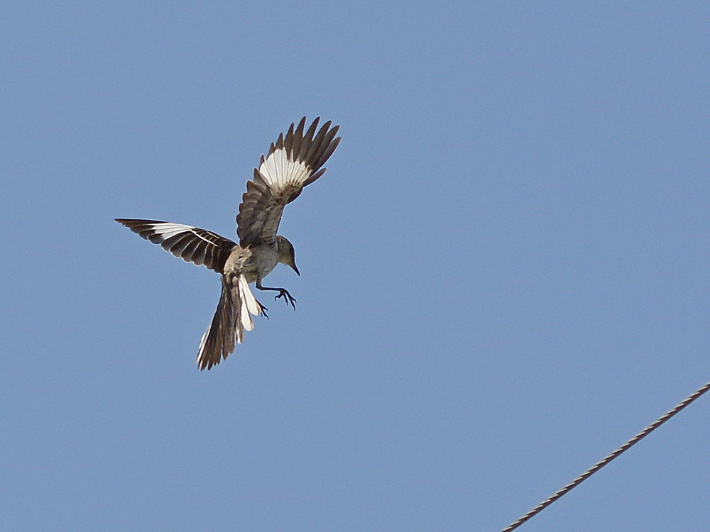 Post your Birds in Flight-mockingbird4.jpg