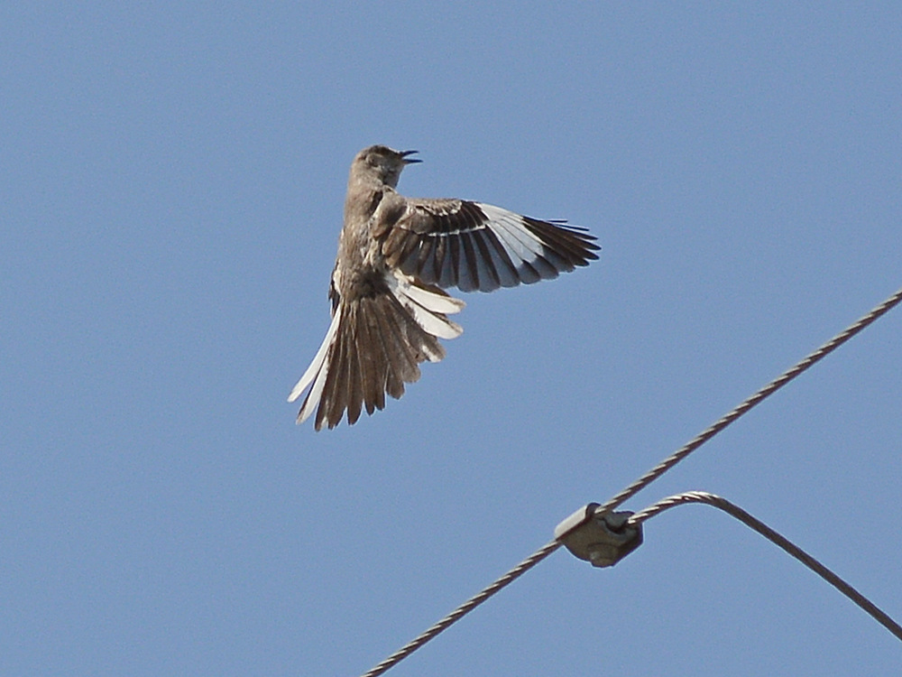 Post your Birds in Flight-mockingbird3.jpg