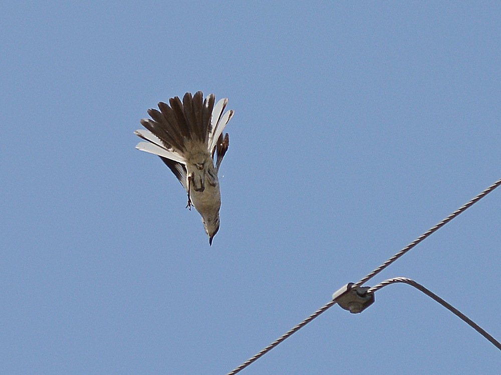 Post your Birds in Flight-mockingbird5.jpg