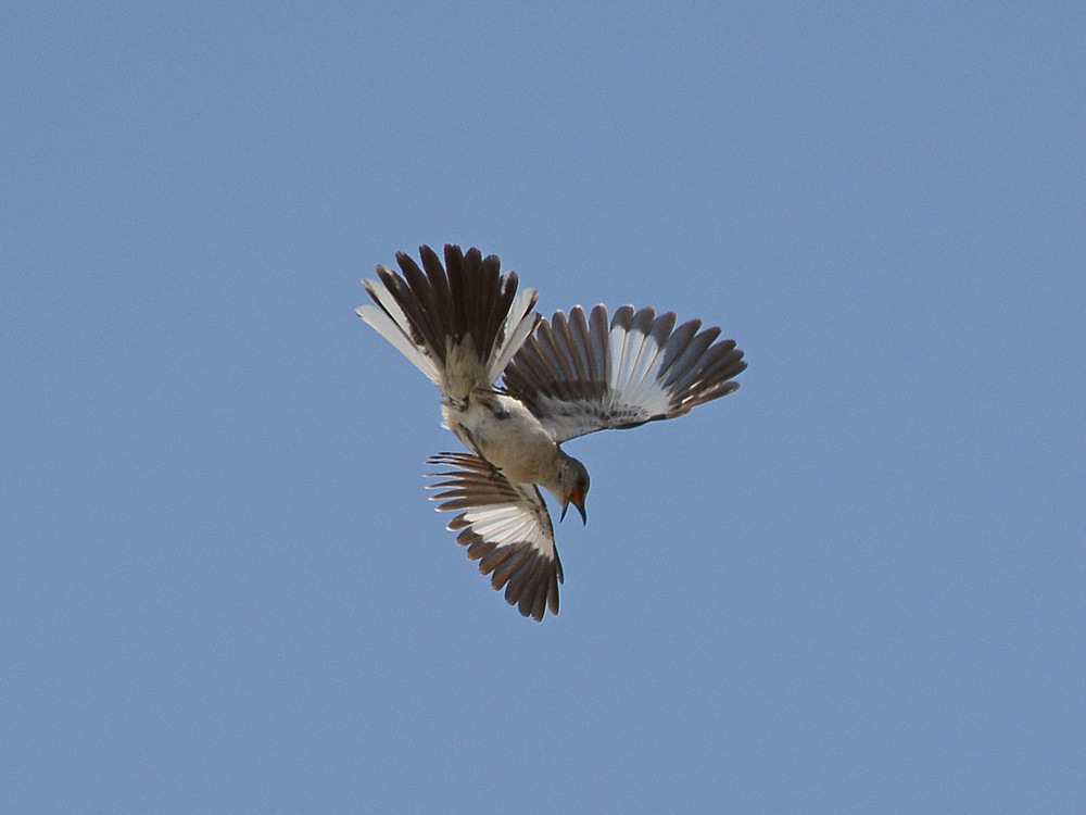 Post your Birds in Flight-mockingbird6.jpg