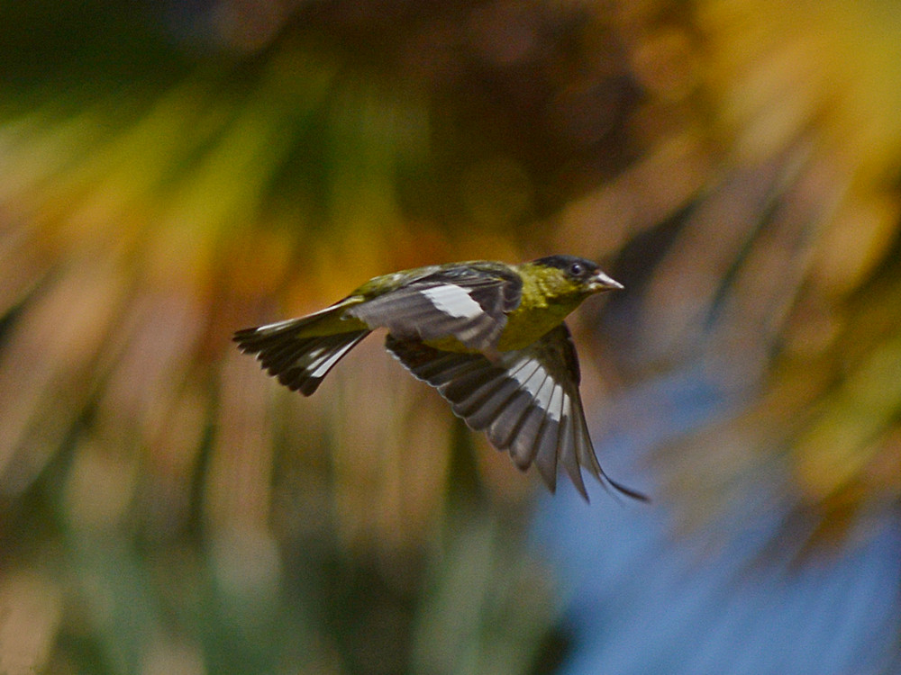 Post your Birds in Flight-almostfinch.jpg