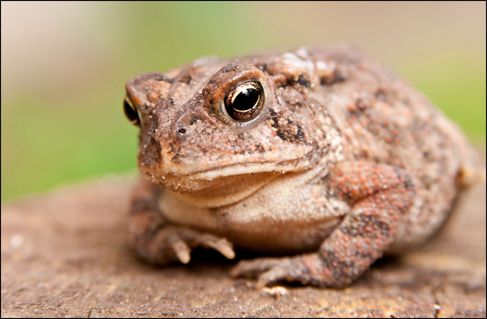 Post  your Frogs, Toads and Amphibians!-dsc_6865.jpg
