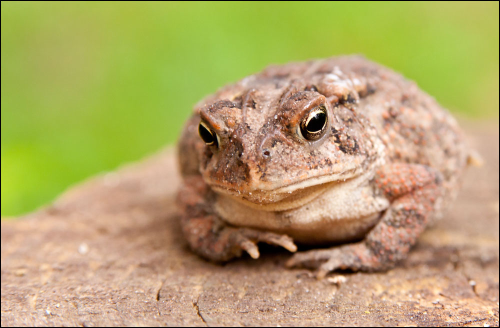 Post  your Frogs, Toads and Amphibians!-dsc_6864.jpg