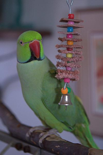 Polly wants a Picture - Post your Parrot Pics-006_kiwi_dsc7452-1.jpg