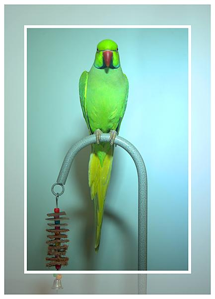 Polly wants a Picture - Post your Parrot Pics-kiwi-framed_dsc8836-1.jpg