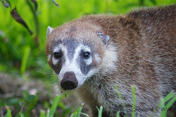 Up Close, And Personal-181-tejon-coati.jpg