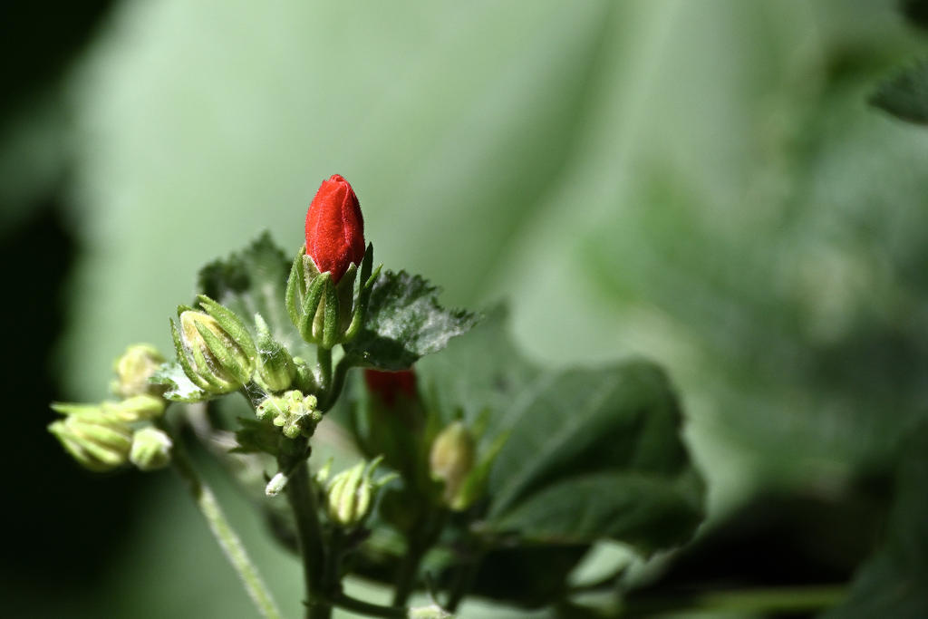 Post your Z50 images-red-turks-cap_cr_sm.jpg