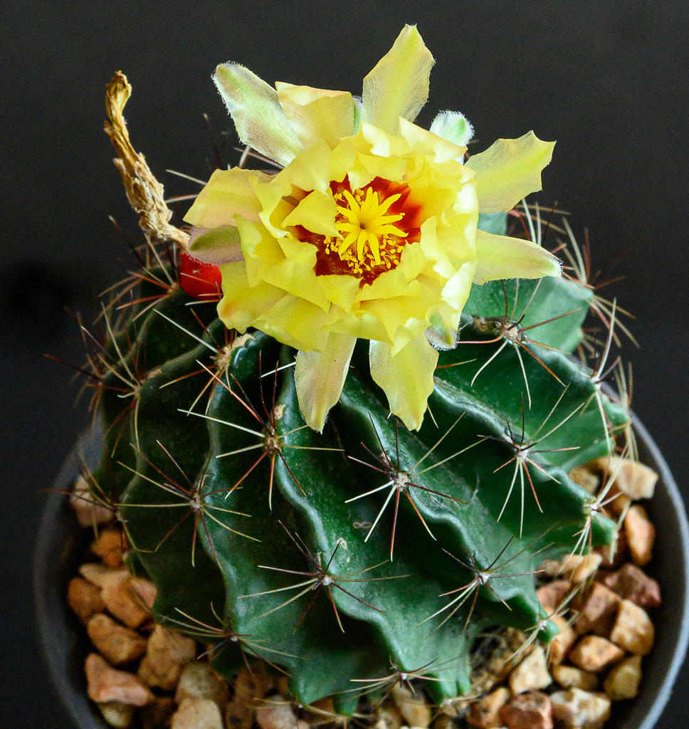 Post your Z50 images-yellow-cactus-1.jpg