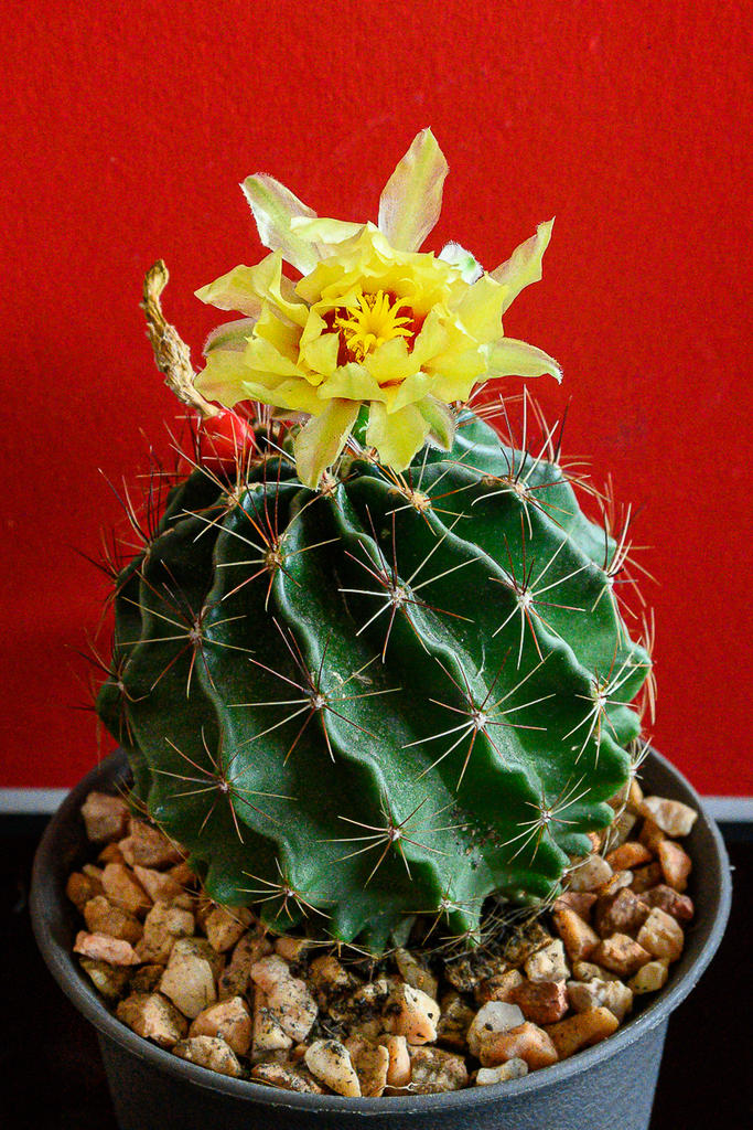 Post your Z50 images-yellow-cactus-2.jpg