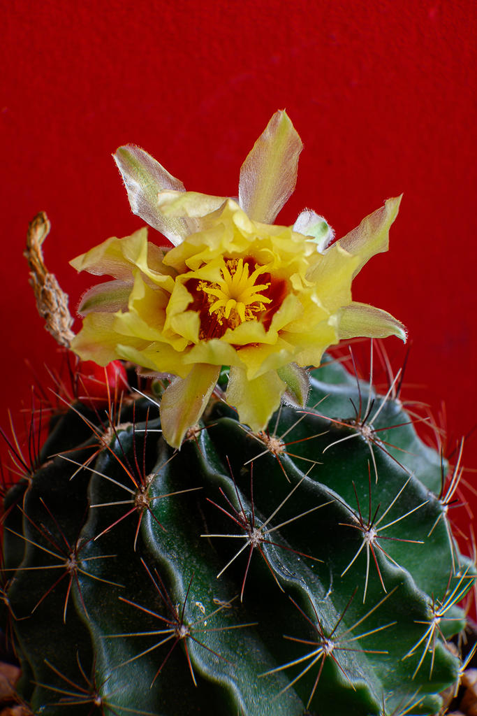Post your Z50 images-yellow-cactus-4.jpg