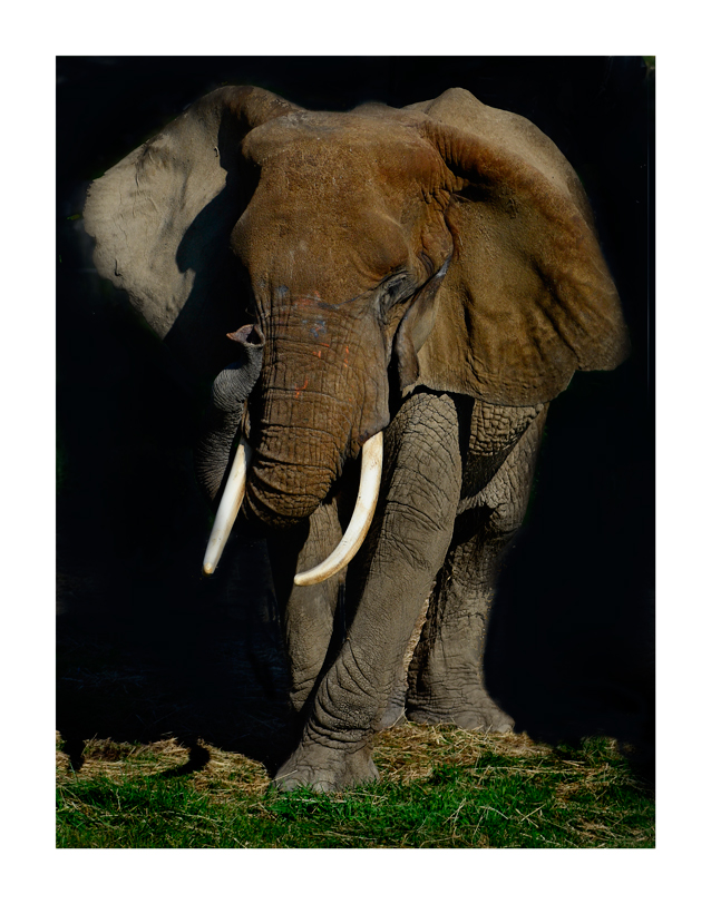 full elephant by stmv in Member Albums