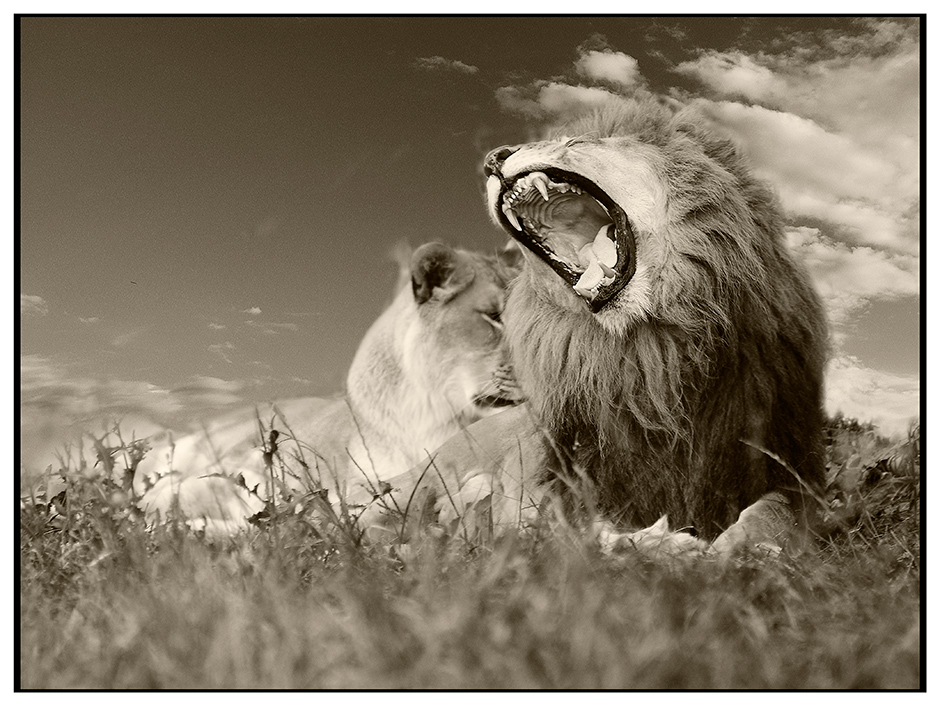 lion4- dsc3233-less-saturated-bw by stmv in Member Albums