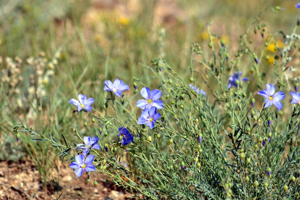 Wild Flax by Rancher in Member Albums