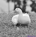 Donald and Daisy by Marilynne in B/W