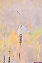 Cattail by Marilynne in Plants